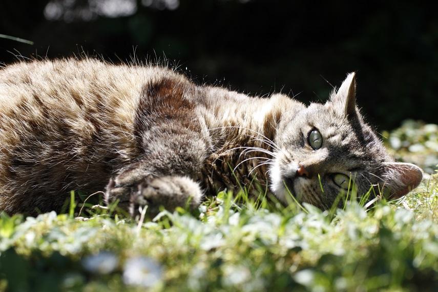 Cleothecat