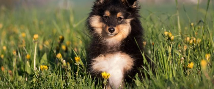 Armanis development – The sheltie with the big heart